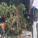 植木・植栽の伐採と処分で板橋区赤塚にお伺いしました。